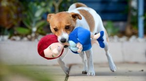 Jack Russell terrier Tex playing with a Droolia Julia doll, which is available from an Adelaide pet store. Picture: NAOMI JELLICOE Source: adelaidenow