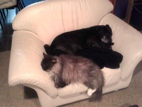 Missing much lovrf grey long hair cat